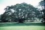 Moraceae - Ficus macrophylla