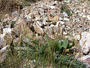 Poaceae - Poa pratensis