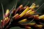 Acanthaceae - Sanchezia speciosa