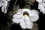 Acanthaceae - Thunbergia grandiflora