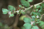 Aizoaceae - Trianthema portulacastrum