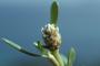 Amaranthaceae - Blutaparon vermiculare
