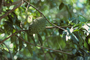 Annonaceae - Annona muricata