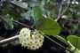 Apocynaceae - Hoya australis