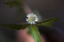 Asteraceae - Eclipta prostrata