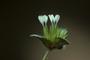 Asteraceae - Elephantopus mollis