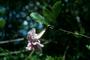 Bignoniaceae - Tabebuia heterophylla