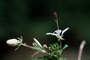 Cleomaceae - Cleome gynandra