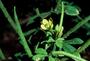 Cleomaceae - Cleome viscosa