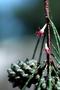 Casuarinaceae - Casuarina equisetifolia