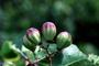 Chrysobalanaceae - Chrysobalanus icaco
