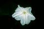 Convolvulaceae - Ipomoea alba