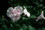 Convolvulaceae - Ipomoea carnea subsp. fistulosa