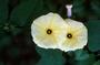 Convolvulaceae - Ipomoea ochracea