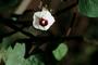 Convolvulaceae - Ipomoea triloba