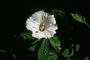 Convolvulaceae - Merremia aegyptia
