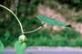 Convolvulaceae - Stictocardia tiliifolia
