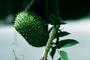 Fabaceae - Caesalpinia bonduc
