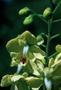 Fabaceae - Caesalpinia decapetala