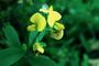 Fabaceae - Crotalaria retusa