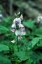 Fabaceae - Crotalaria verrucosa