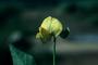 Fabaceae - Vigna luteola