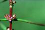 Lythraceae - Ammannia coccinea