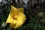 Malvaceae - Hibiscus tiliaceus