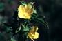 Malvaceae - Malachra alceifolia