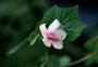 Malvaceae - Urena lobata
