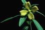 Onagraceae - Ludwigia octovalvis