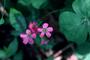 Oxalidaceae - Oxalis debilis