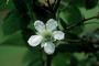 Rosaceae - Rubus rosifolius