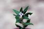 Rubiaceae - Diodia apiculata
