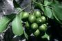 Sapindaceae - Melicoccus bijugatus
