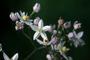 Solanaceae - Solanum seaforthianum