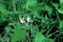 Malvaceae - Melochia pyramidata