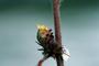 Malvaceae - Waltheria indica