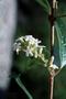 Verbenaceae - Citharexylum spinosum