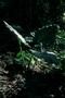Araceae - Alocasia macrorrhizos