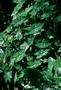 Araceae - Caladium bicolor