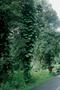 Araceae - Epipremnum pinnatum 'Aureum'