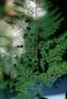 Asparagaceae - Asparagus setaceus