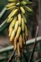 Xanthorrhoeaceae - Aloe vera