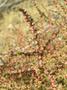 Amaranthaceae - Salsola tragus