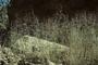 Poaceae - Muhlenbergia microsperma