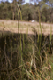 Poaceae - Dichelachne micrantha