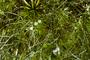 Poaceae - Abolboda sp.