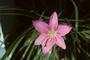 Amaryllidaceae - Zephyranthes rosea