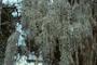 Bromeliaceae - Tillandsia usneoides